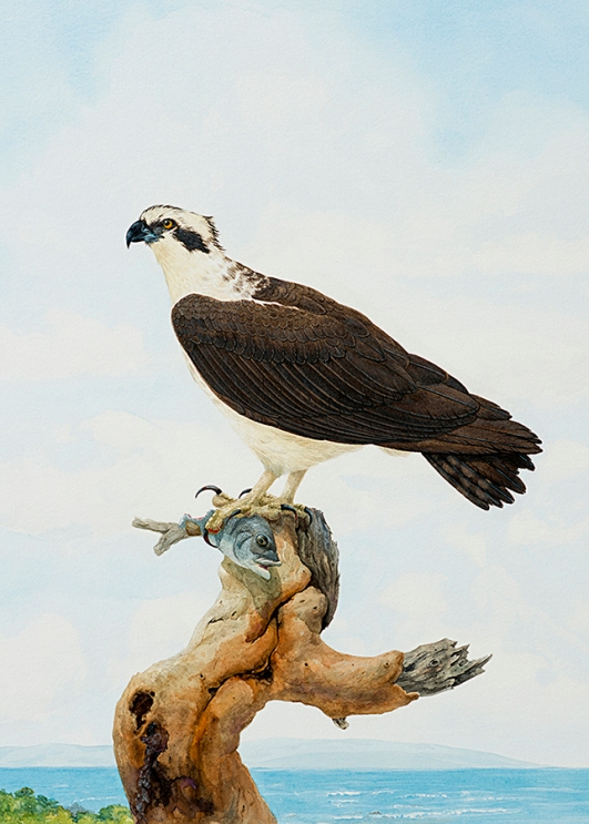 The Master Fisher- Osprey with Fish