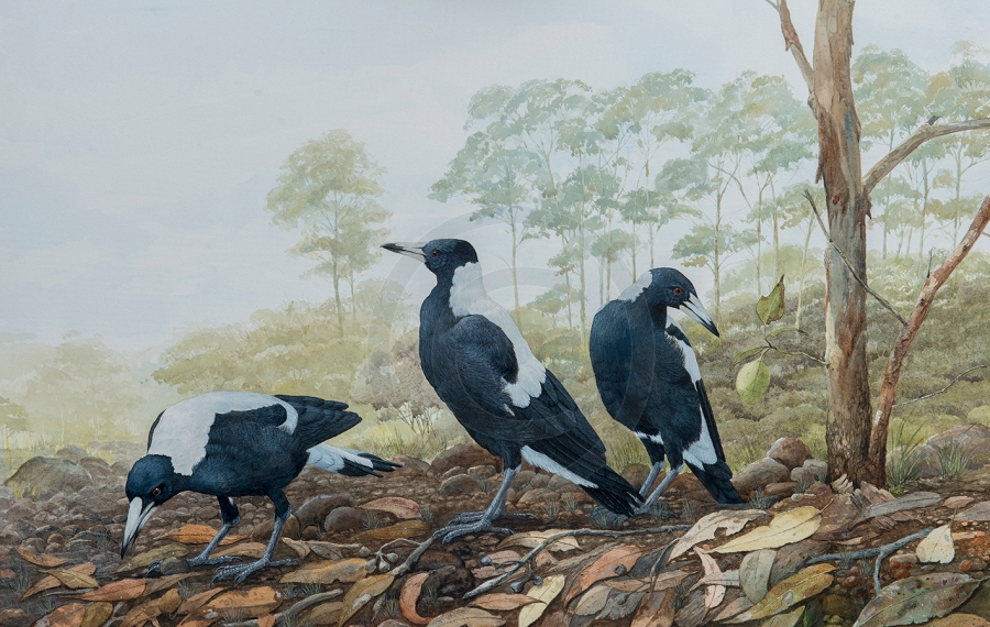 up-on-the-river-bank-watercolour-magpies-margaret-river-wa-2-copy