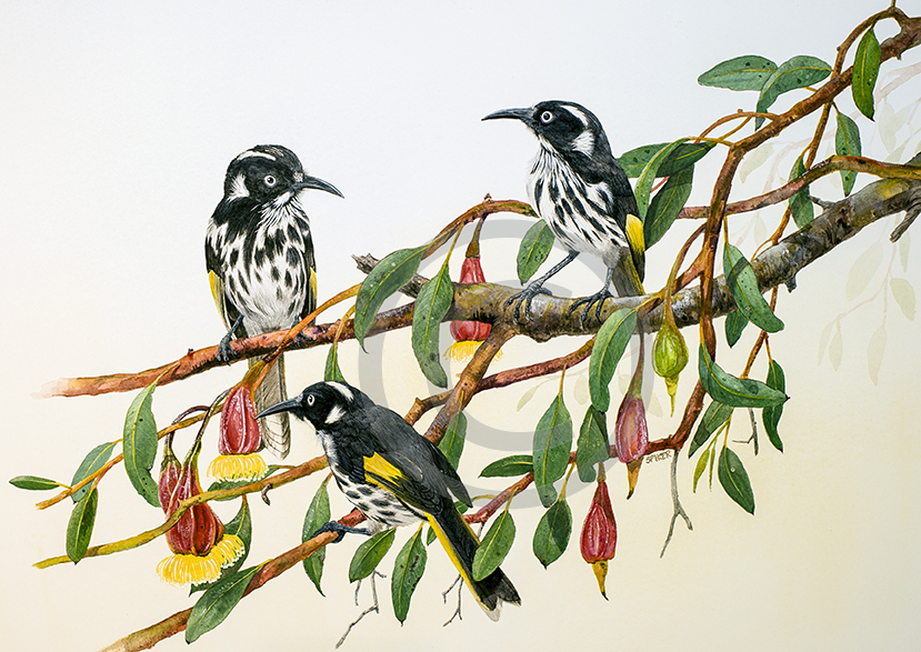 new-holland-honeyeater-for-web