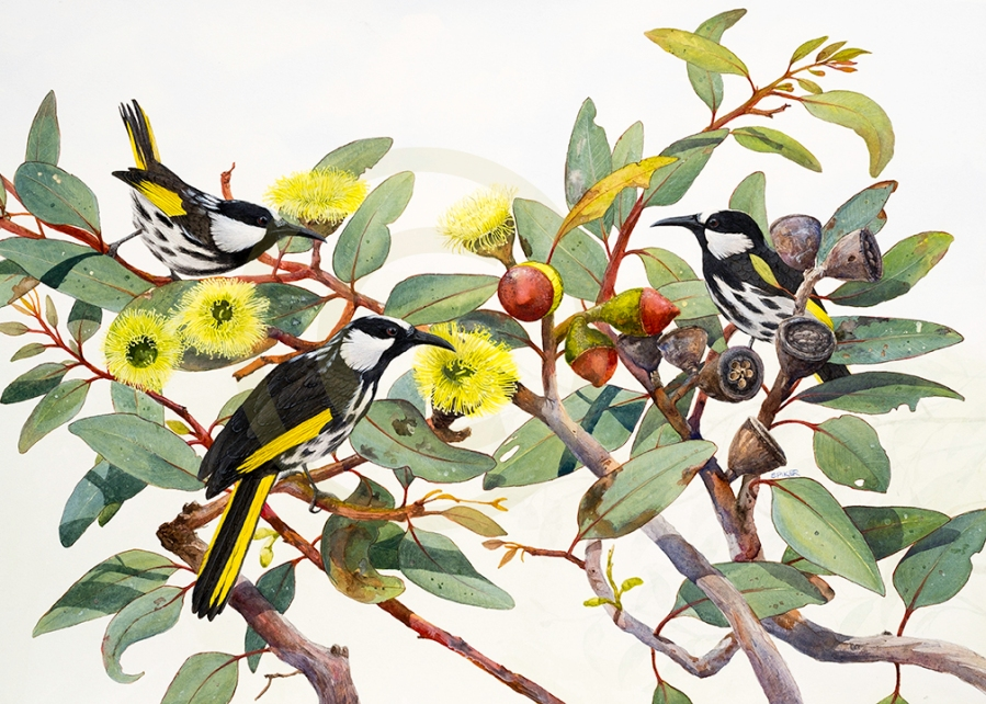 White-cheeked Honeyeaters on Euc priessiana