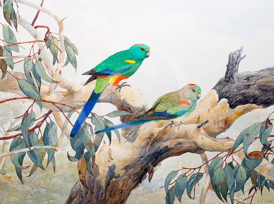 Mulga Parrots final 2 MR Watercolour