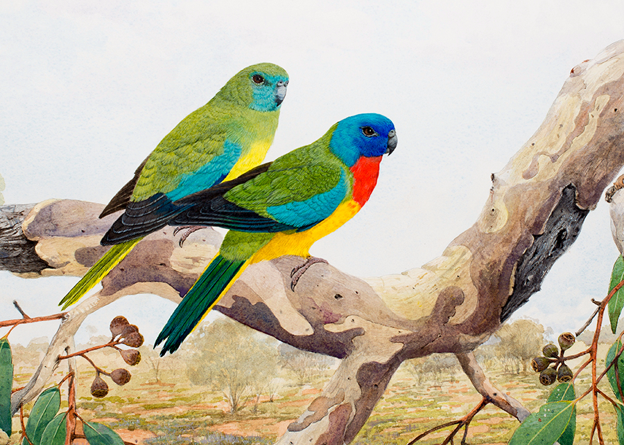 Scarlet chested Parrots final 2 MR Watercolour (8)