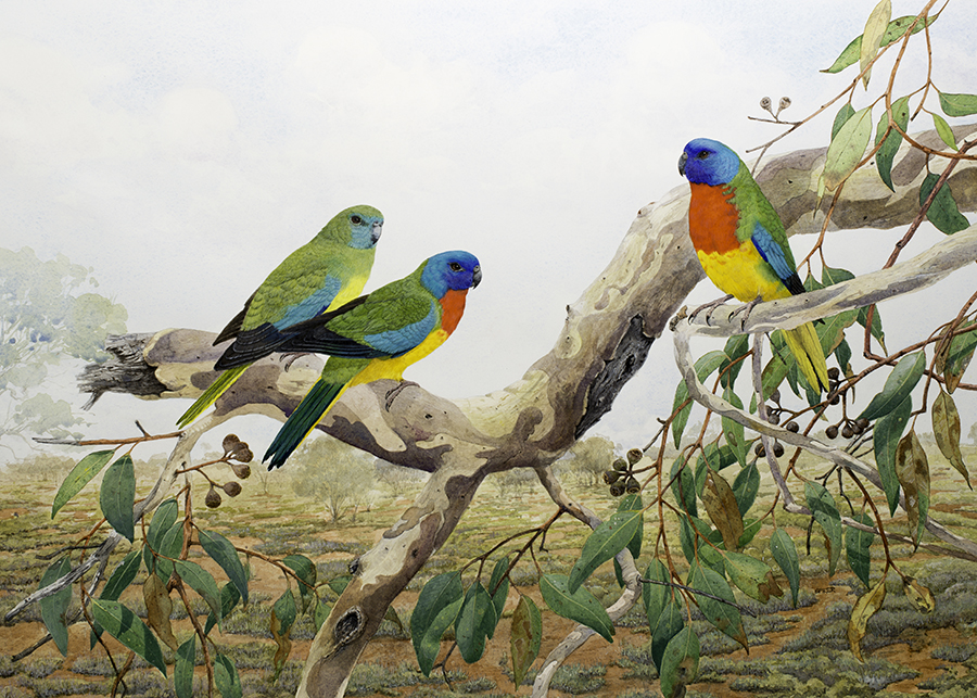 Scarlet chested Parrots final 2 r (5)