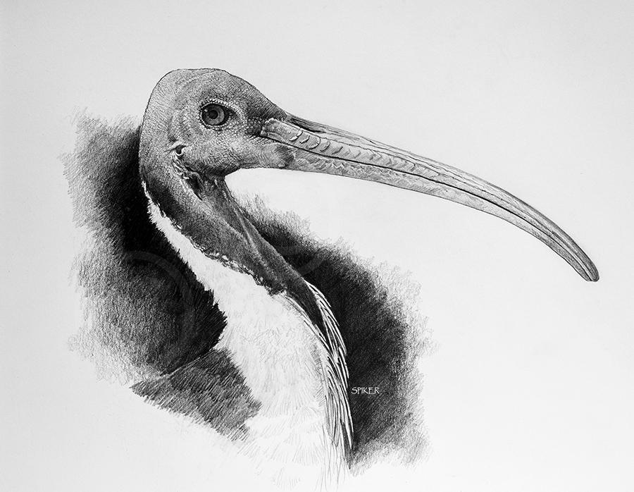 Straw-necked IbisMR Watercolour (4) copy copy
