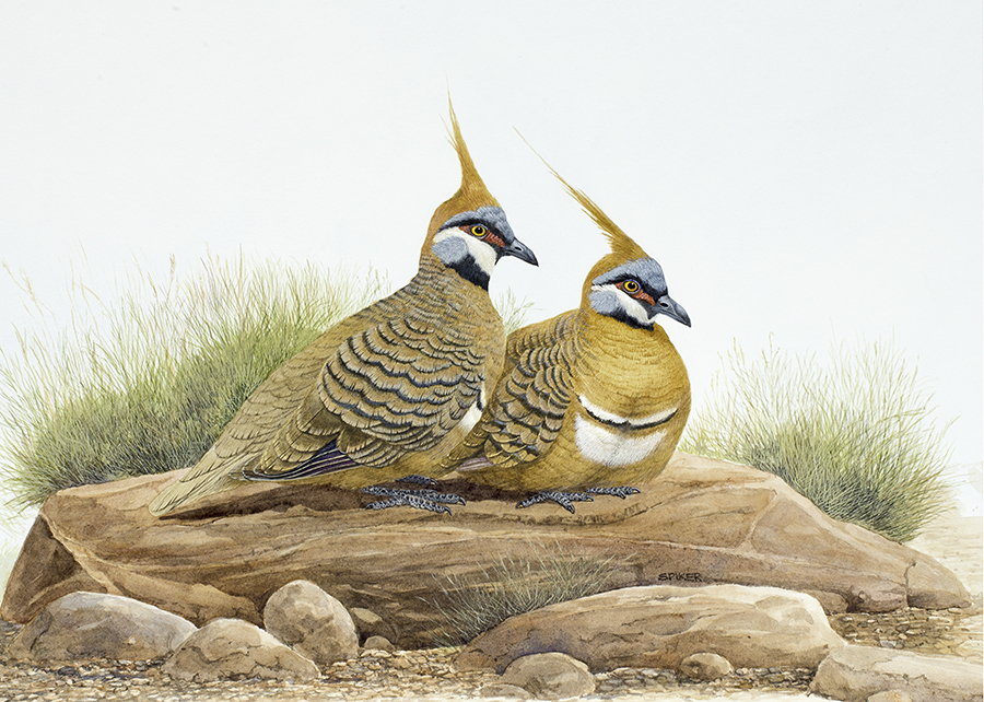 Spinifex Pigeons small