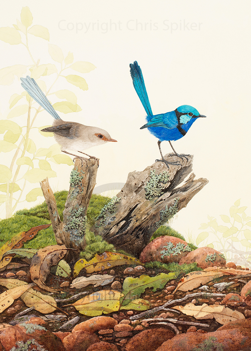 A Low Outlook Watercolour Splendid Fairy Wrens Webpic (8) copy