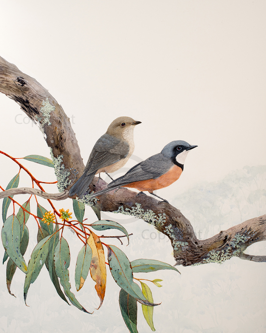 Rufous Whistlers Perched Together Small WA (1)