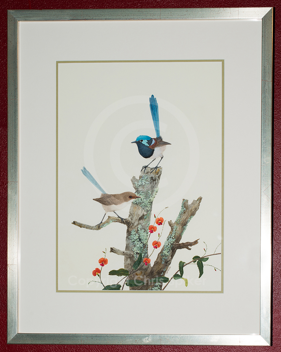 Clourful Day Out- pair of Splendid Fairy-wrens