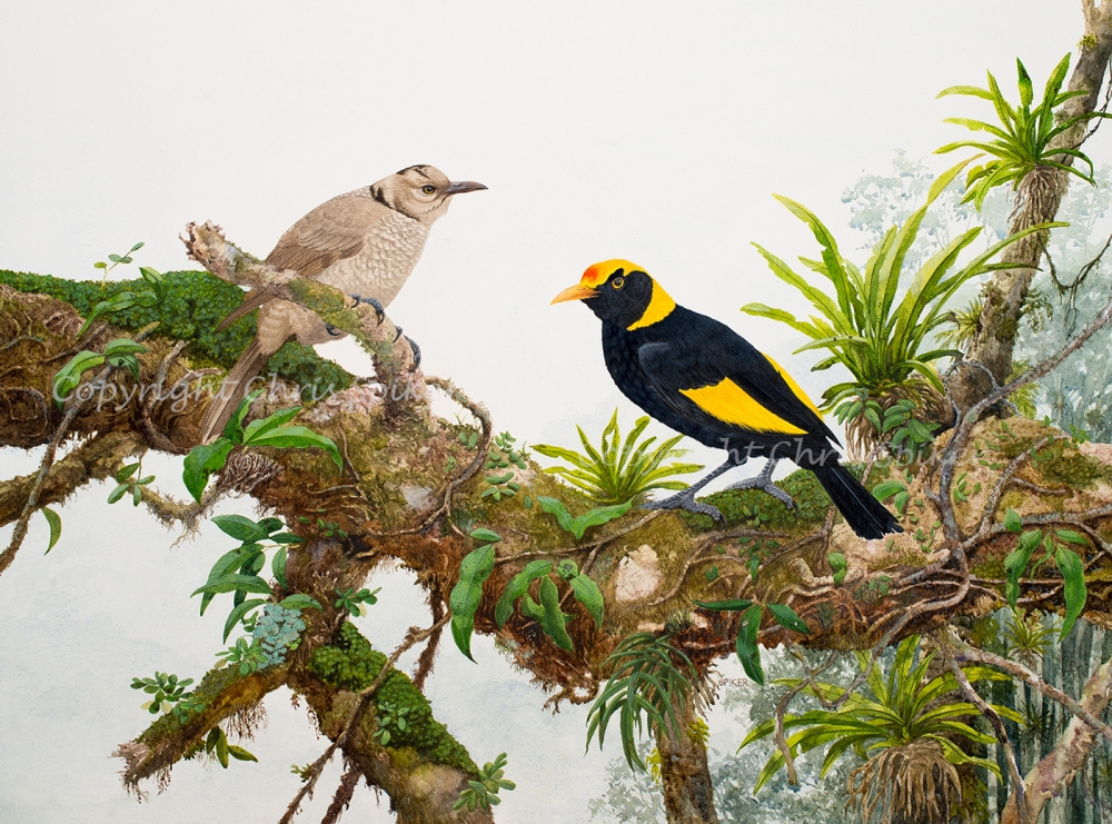 Regent Bowerbirds Watercolour MR (16)