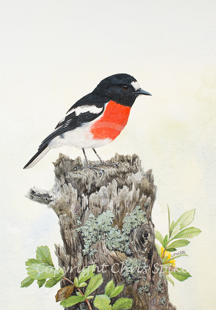 Scarlet Robin Waiting Watercolour MR (5)