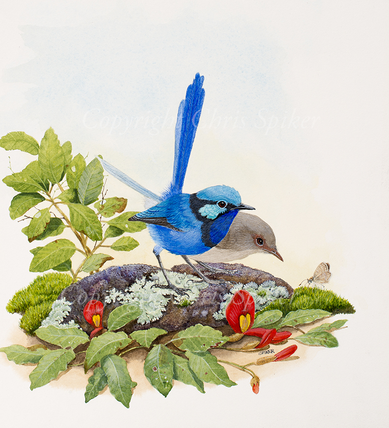 Splendid Fairy Wrens & Butterfly Small