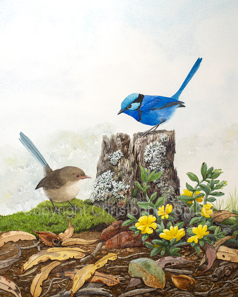 Splendid Fairy-wrens Found a jewel Small