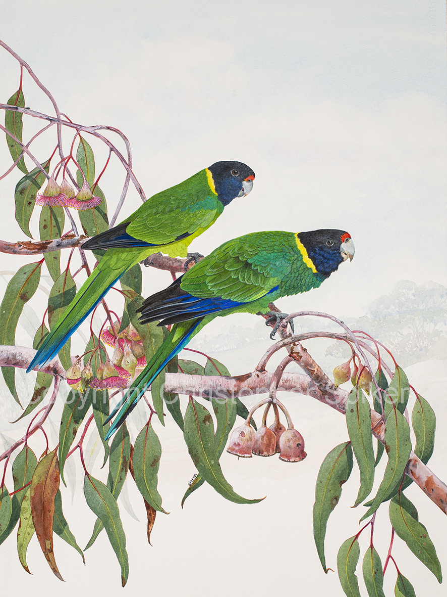 Twenty Eights parrots small