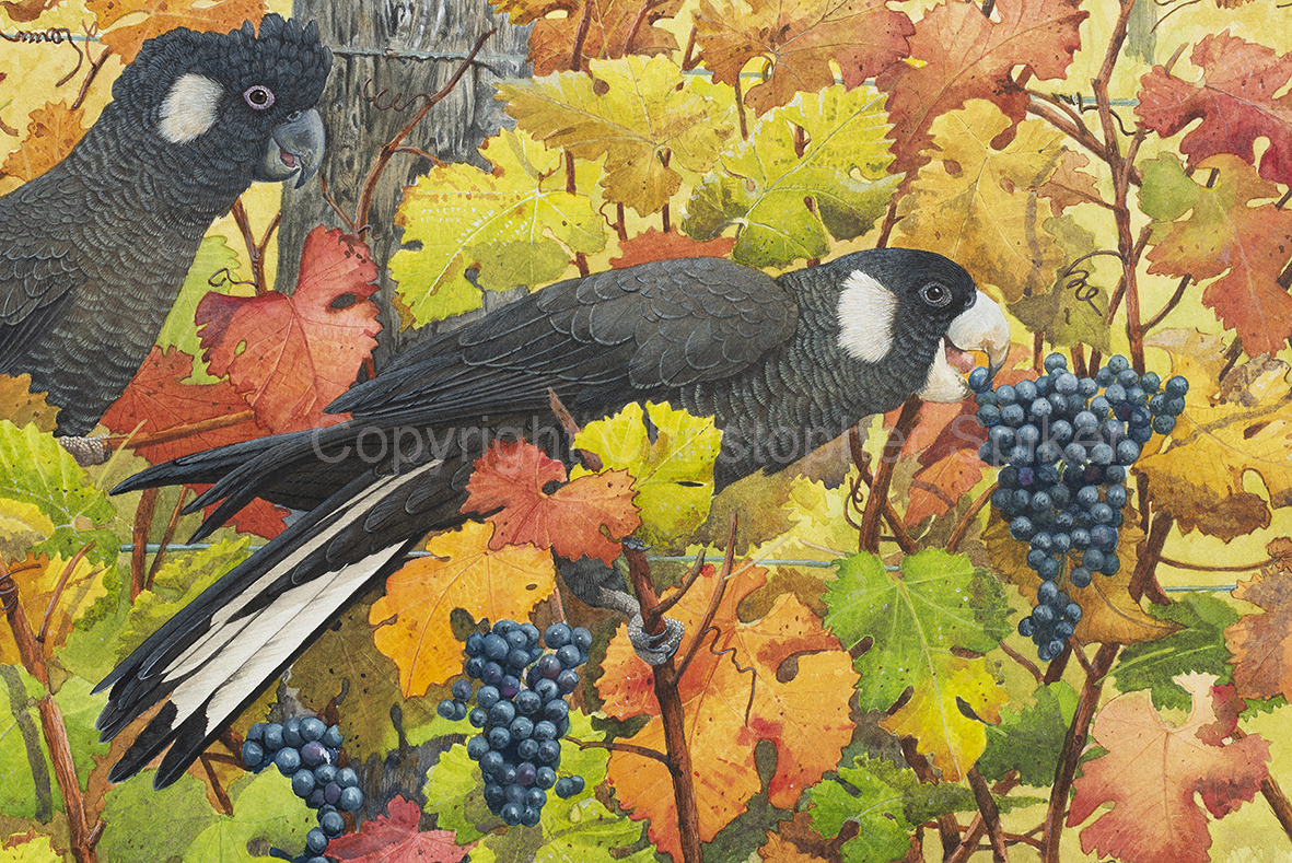 Baudins- Sharing the HarvestWatercolour small detail of bird _D8H3837