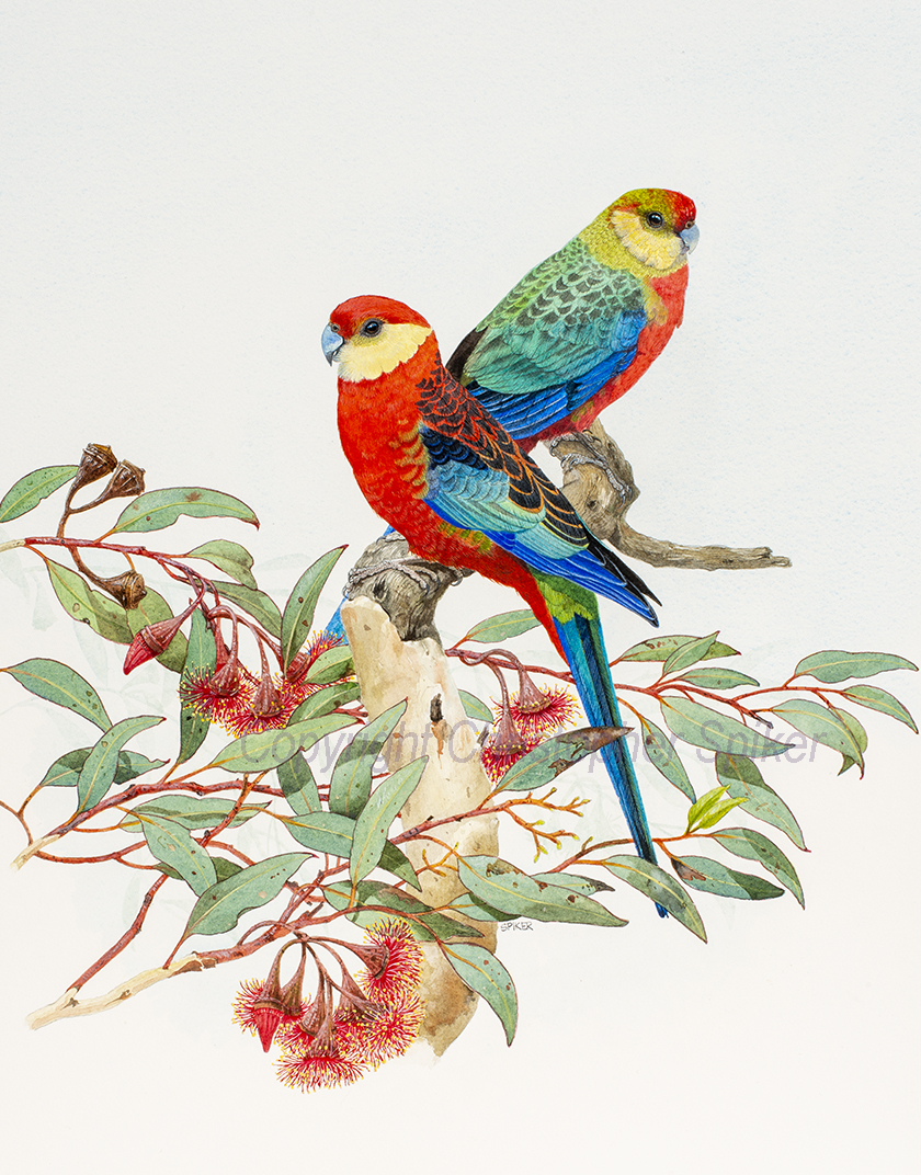 Western Rosellas E erythronema small
