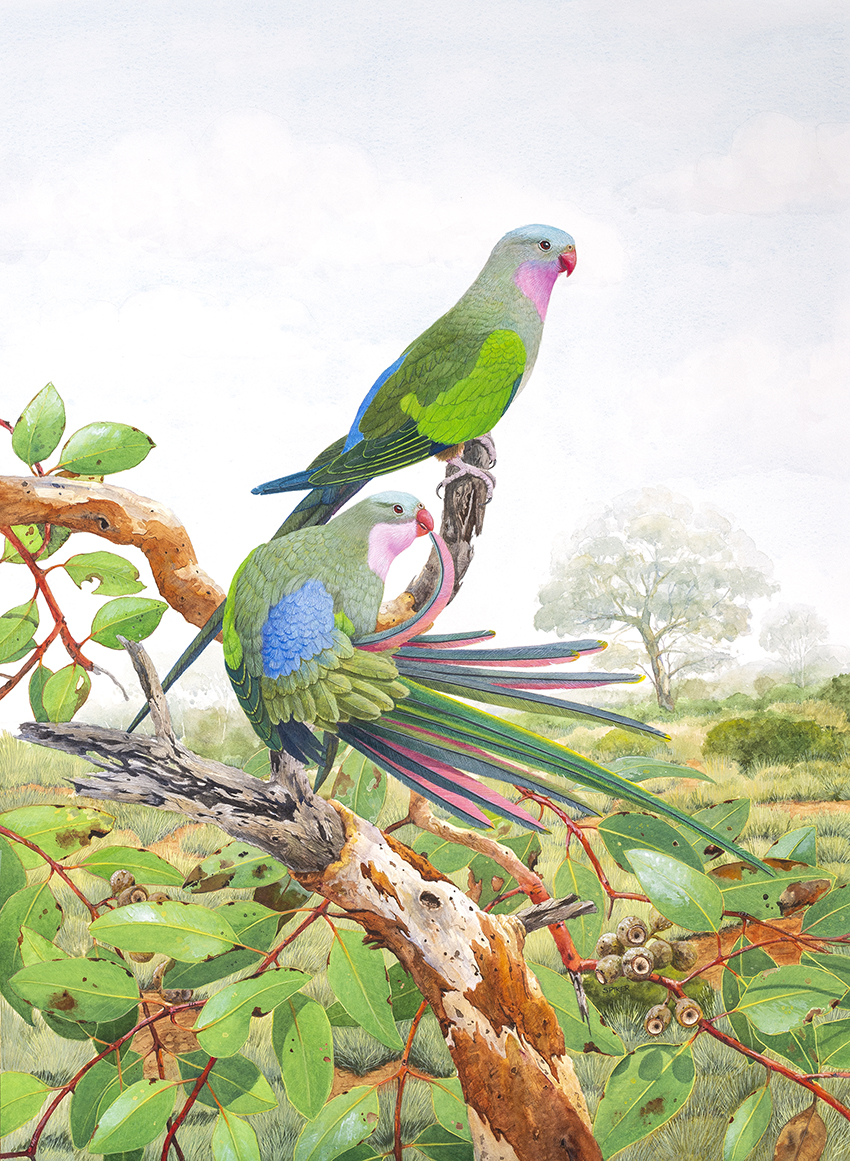 Princess Parrot Preening small _D8H5485
