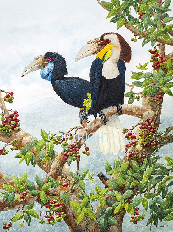 Hornbills On Ficus racemosa SMALL