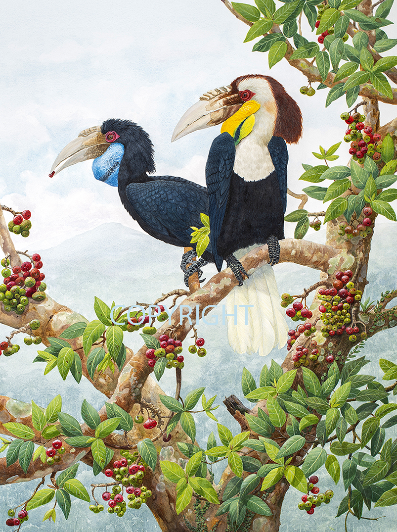 Hornbills On Ficus racemosa SMALL
