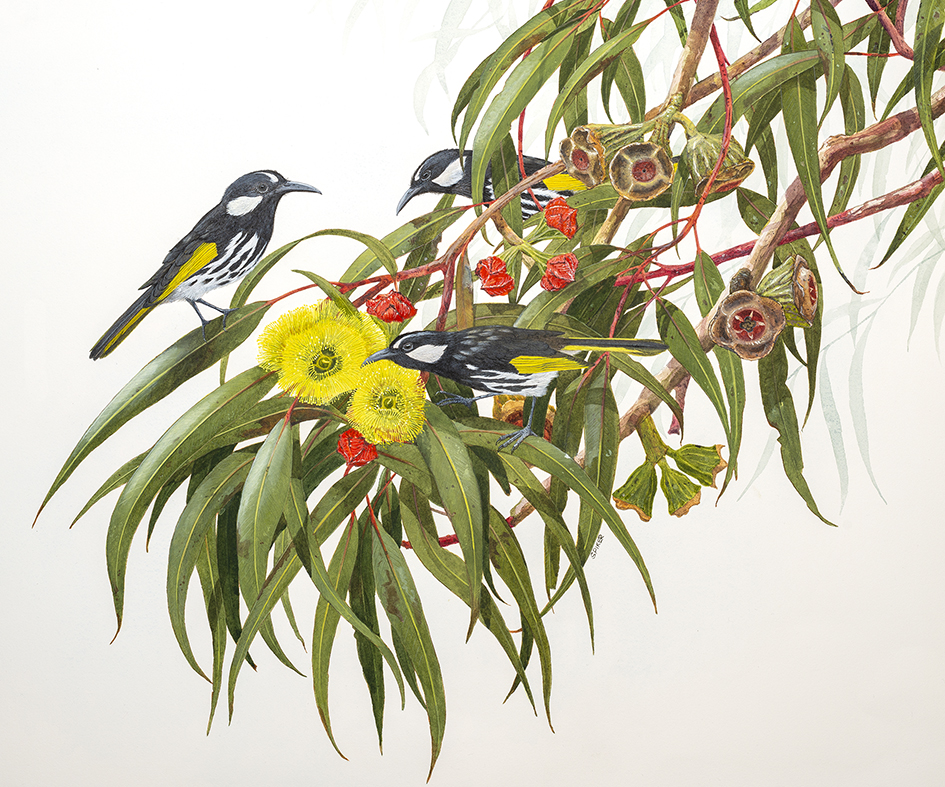 White-cheeked Honeyeaters on Eucalyptus erythrocorys small